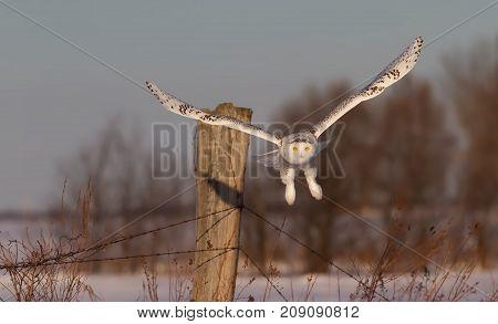 Snowy owl (Bubo scandiacus) taking flight over an open snowy field