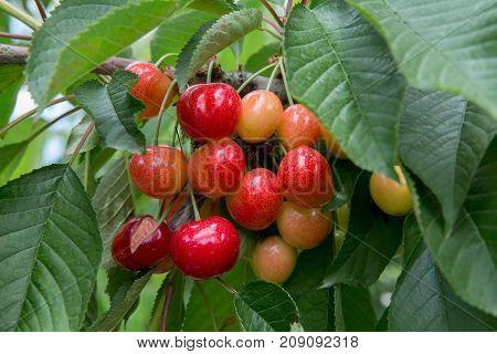 Cherry Tree cherry background cherry leaf background