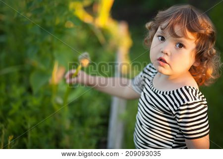 Adorable curl hair blond little girl outdoors on a family farm picking onion from garden bed. Warm summer day beautiful light. Happy childhood healthy kid.