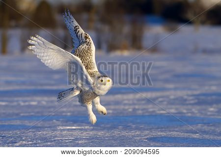 Snowy owl (Bubo scandiacus) flies low over an open snowy field