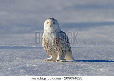 Snowy owl (Bubo scandiacus) on snow covered field