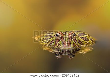 Ornate Horned Frog reflected in golden waters