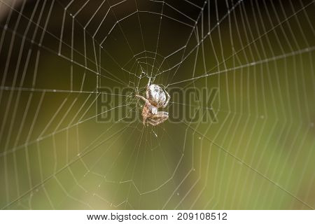Large white spider web with spider in dew in the morning on a green summer background