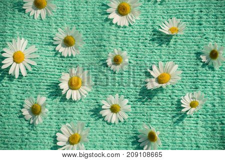Background of beautiful daisies on a knitted green texture in summer