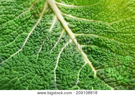 A leaf of a savoy cabbage closeup, the leaf veins and texture, macro