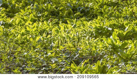 sunny illuminated dense bear leek vegetation closeup