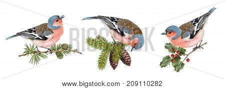 Vector realistic detailed illustration set of finch birds on branches isolated on white background. Winter design elements for Christmas, New year, holidays. Best for greeting card, poster, packaging