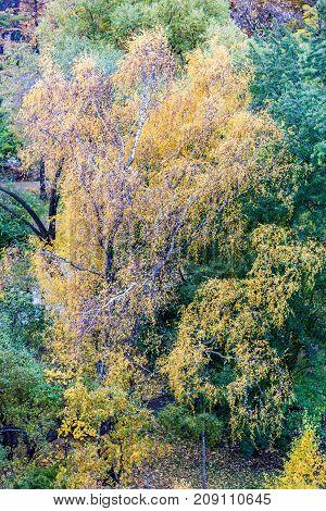 Yellow Autumn Trees