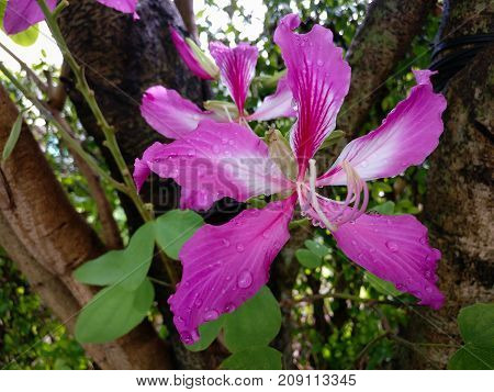 Bauhinia Purpurea Pink flowers bloom with beautiful colors and Water drops on flowers.