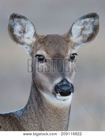 Portrait of a mule deer doe with catch light and a neutral background