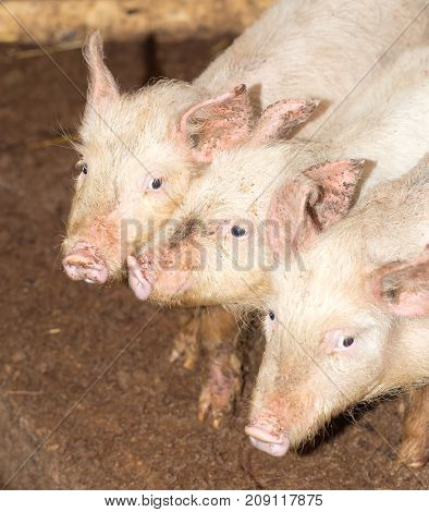 three little pigs on the farm . In the park in nature