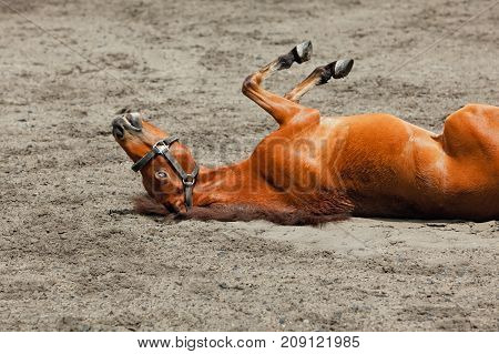 Young brown color horse have fun rolling on sand field lying upside down in dust. Hilarious domestic animals funny pets. Summer outdoor background.