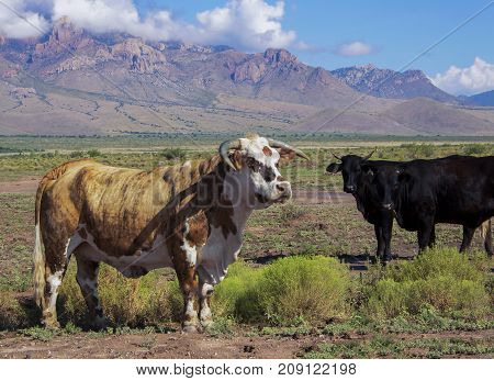 Bull and Cows on Plains of New Mexico with Mountains Behind in Image of Americana and Ranching