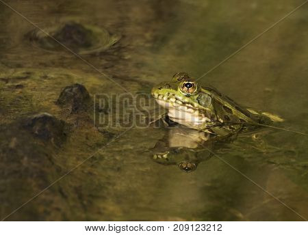 Endangered Leopard Frog In Pond Close Up with Reflection
