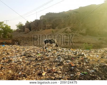 Skinny domestic cow grazing in a garbage pit in the outskirts of Bamako Mali Africa