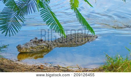 The young crocodile floating in the river.