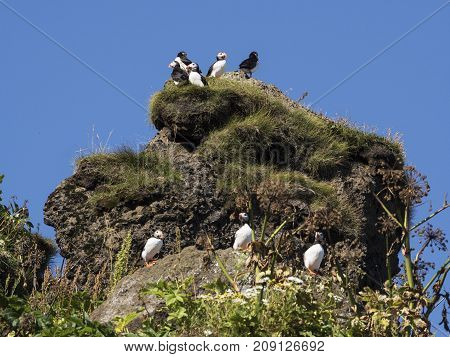 Group of atlantic puffins nesting in Dyrholaey Iceland
