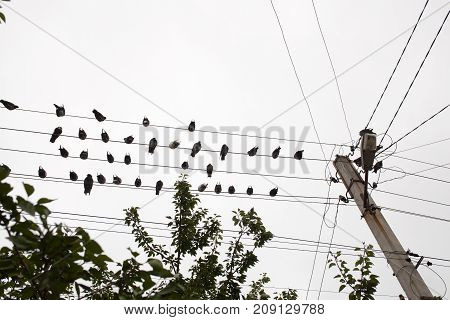 group of Pigeons bird resting on electrical wire with tree top