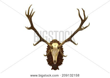 beautiful red deer hunting trophy isolated over white background ( Cervus elaphus )
