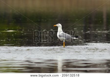 caspian gull stading in shallow waters ( Larus cachinnans )