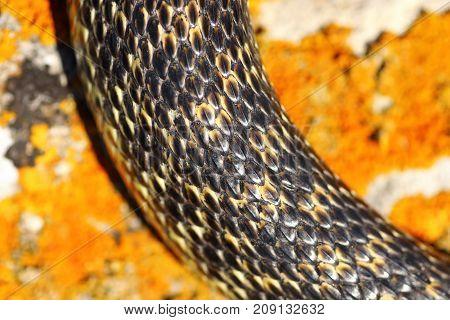 closeup of beautiful snake pattern the blotched snake ( Elaphe sauromates )