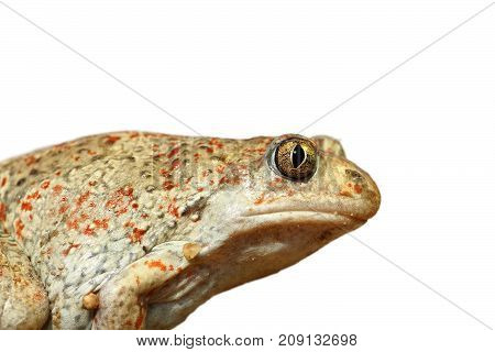 closeup of isolated garlic toad isolation over white background ( Pelobates fuscus )
