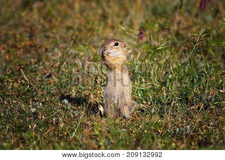 cute european ground squirrel in natural habitat ( Spermophilus citellus )