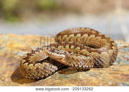 european toxic snake common adder basking on a rock ( Vipera berus )