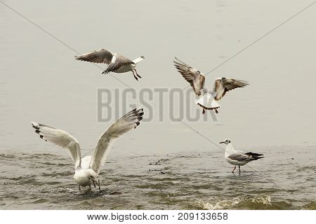 angry gulls fighting for fishing spot in shallow water