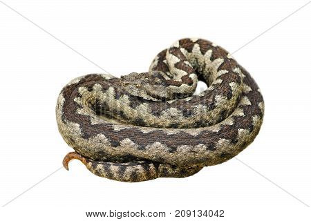 dangerous nose horned adder one of the deadliest snakes in Europe isolated over white background ( Vipera ammodytes )