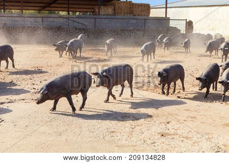 Adult Iberian pigs going out from the farm to graze