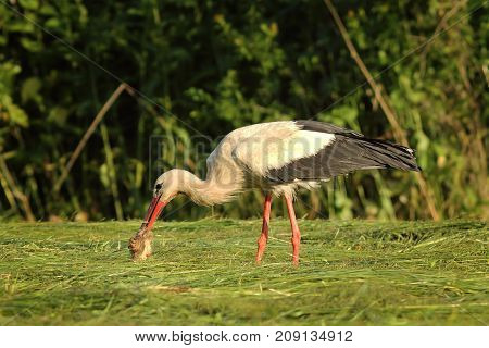 white stork eating from dead roe deer ( Ciconia )
