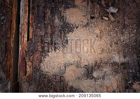 wooden beam in decay dry rot and wood boring insect damage