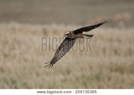 Western marsh harrier in flight in its habitat