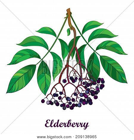 Vector branch with outline Sambucus nigra or black elder or elderberry, bunch, black berry and green leaves isolated on white background. Elderberry drawing in contour style for autumn design.