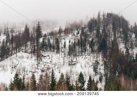 Fir-trees on the snow covered mountains Carpathians Ukraine