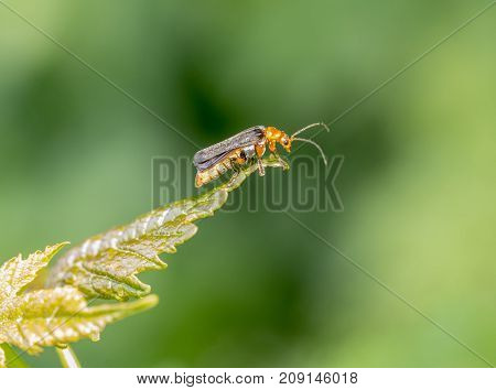 profile shot of a soldier beetle resting on a leaf in green back
