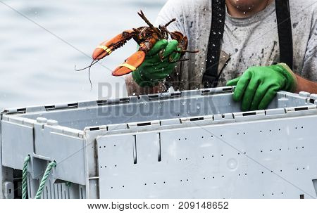 Freshly caught lobsters being sorted into bins to be sold by lobster man at the end of the day