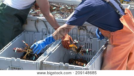 Lobstermen sorting their lobsters into seperate bins by size in Maine.