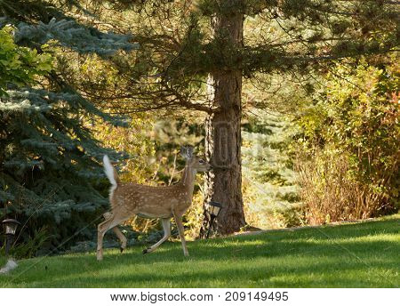 Whitetail fawn on a lawn
