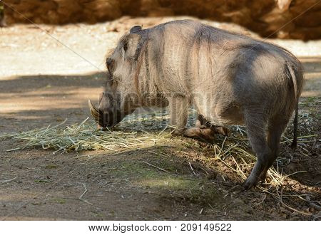 Female African Warthog in a typical kneeling position to feed