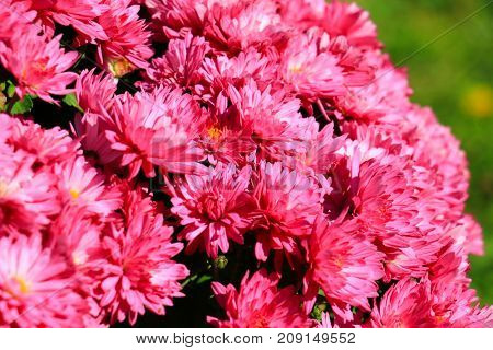 chrysanthemums daisy flower background pattern bloom