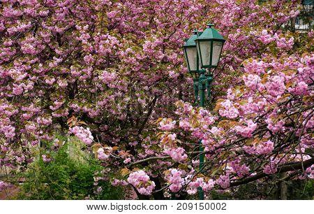 Green Lantern Among Cherry Blossom