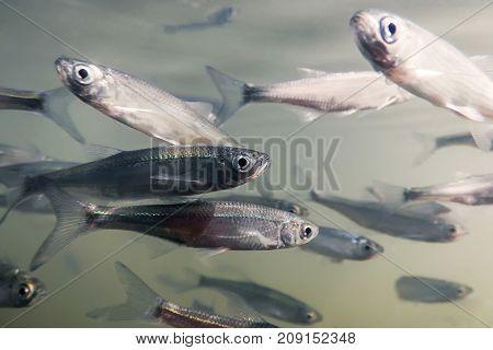 Bait Fish Freshwater Underwater. Common Bleak Close Up.