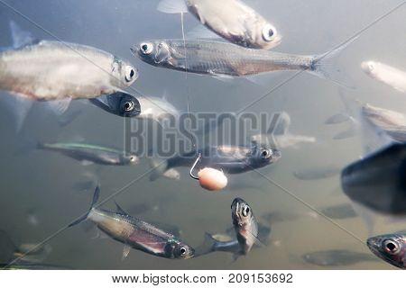 Close Up Fishing Underwater. Bait Fish Freshwater.
