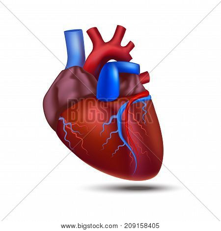 Realistic Detailed 3d Human Anatomy Heart Closeup View Cardiovascular Organ a Body Medical Health Care Concept Symbol. Vector illustration