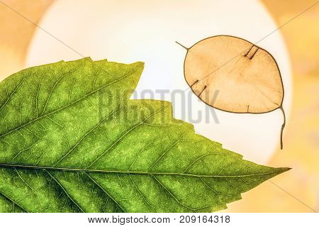 Natural abstract background with green decorative leaves close-up in backlight. Lunarius leaf.