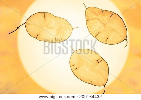 Lunarius seed pods leafs. Natural abstract background with decorative leaves seed pods close-up in backlight.