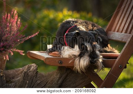 Cute Dog Resting On Chair In Garden