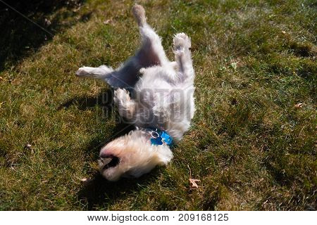 West Highland White Terrier Playing On A Backyard